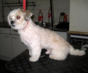 honden trimmen zachte vacht resultaat