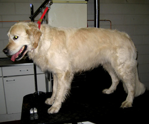 trimmen van golden retriever
