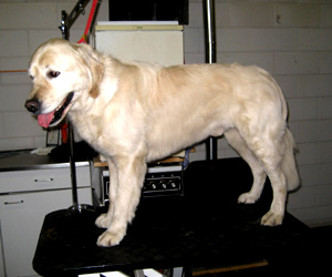 trimmen van golden retriever resultaat